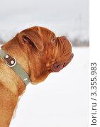 Профиль бордоского дога. Стоковое фото, фотограф Агибалова Кристина / Фотобанк Лори