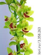 Купить «Цветы Орхидеи Цимбидиум (Cymbidium)», фото № 3358263, снято 3 марта 2012 г. (c) ElenArt / Фотобанк Лори
