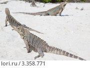 Купить «Игуана Кубинская циклура (Cuban Rock Iguana / Cyclura nubila) на песчаном пляже», фото № 3358771, снято 12 декабря 2011 г. (c) Сергей Дубров / Фотобанк Лори