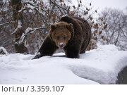 Купить «Калининградский зоопарк. Бурый медведь.», эксклюзивное фото № 3359107, снято 26 декабря 2010 г. (c) Dmitry29 / Фотобанк Лори