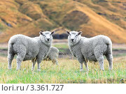 Купить «Овцы на пастбище», фото № 3361727, снято 19 февраля 2012 г. (c) Ольга Хорошунова / Фотобанк Лори