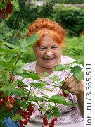 Купить «Бабушка смеется и собирает красную смородину», эксклюзивное фото № 3365511, снято 10 июля 2011 г. (c) Щеголева Ольга / Фотобанк Лори