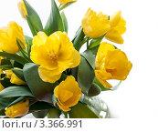 Желтые тюльпаны, фото № 3366991, снято 8 марта 2012 г. (c) Liseykina / Фотобанк Лори