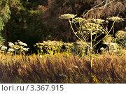 Купить «Борщевик в лесу», фото № 3367915, снято 13 ноября 2018 г. (c) Михаил Ястребов / Фотобанк Лори