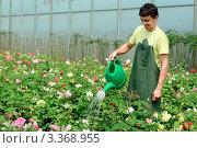 Садовник поливает из лейки розы в теплице. Стоковое фото, фотограф Величко Микола / Фотобанк Лори