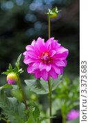 Купить «Розовый георгин», фото № 3373683, снято 25 июля 2011 г. (c) Сычёва Виктория / Фотобанк Лори