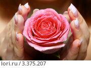 Роза с каплями воды в женских руках. Стоковое фото, фотограф Сергей Коршенюк / Фотобанк Лори
