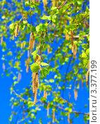 Весенние почки берёзы на фоне синего неба. Стоковое фото, фотограф Павел Воробьёв / Фотобанк Лори
