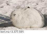 Заяц-беляк (Lepus timidus) Стоковое фото, фотограф Щеголева Ольга / Фотобанк Лори