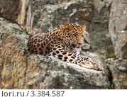 Купить «Ягуар лежит на скале», фото № 3384587, снято 14 июля 2011 г. (c) Яков Филимонов / Фотобанк Лори
