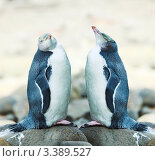 Желтоглазые пингвины, фото № 3389527, снято 24 февраля 2012 г. (c) Ольга Хорошунова / Фотобанк Лори