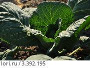 Посадка капусты. высаженная в грунт рассада капусты. Стоковое фото, фотограф Маргарита Смирнова / Фотобанк Лори