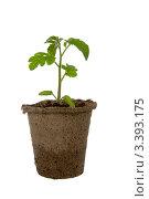 Купить «Росток томата в торфяном горшке на белом фоне», фото № 3393175, снято 20 марта 2012 г. (c) Елена Блохина / Фотобанк Лори