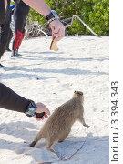 Купить «Туристы кормят древесную крысу Кубинскую хутию (Desmarest's Hutia, Cuban Hutia / Capromys pilorides)», фото № 3394343, снято 12 декабря 2011 г. (c) Сергей Дубров / Фотобанк Лори