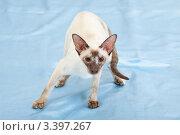 Купить «Сиамская кошка стоит на голубой ткани», фото № 3397267, снято 10 марта 2012 г. (c) Сергей Дубров / Фотобанк Лори