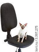 Купить «Сиамская кошка сидит на офисном кресле», фото № 3397275, снято 10 марта 2012 г. (c) Сергей Дубров / Фотобанк Лори