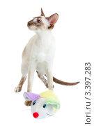 Купить «Сиамская кошка играет с плюшевой мышкой», фото № 3397283, снято 10 марта 2012 г. (c) Сергей Дубров / Фотобанк Лори