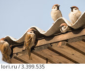 Воробьи обживают шиферную крышу. Стоковое фото, фотограф Екатерина Жукова / Фотобанк Лори