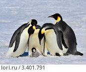 Купить «Четыре императорских пингвинов и  пингвиненок», фото № 3401791, снято 31 октября 2010 г. (c) Vladimir / Фотобанк Лори