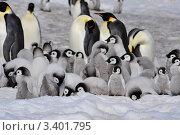 Купить «Группа императорских пингвинов с детенышами», фото № 3401795, снято 31 октября 2010 г. (c) Vladimir / Фотобанк Лори