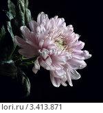 Крупный цветок светлой хризантемы на черном фоне. Стоковое фото, фотограф Виниченко Ирина Николаевна / Фотобанк Лори
