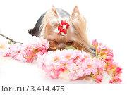 Купить «Йоркширский терьер с цветами на белом фоне», фото № 3414475, снято 11 января 2012 г. (c) Ирина Игумнова / Фотобанк Лори