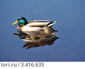 Купить «Утки кряквы. Mallard Duck», фото № 3416635, снято 27 марта 2012 г. (c) Татьяна Кахилл / Фотобанк Лори