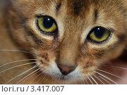 Купить «Сомалийская кошка - длинношерстная вариация абиссинской породы», эксклюзивное фото № 3417007, снято 7 апреля 2012 г. (c) Александр Алексеев / Фотобанк Лори