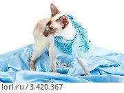 Купить «Сиамская кошка с повязанным платком стоит на голубой ткани», фото № 3420367, снято 10 марта 2012 г. (c) Сергей Дубров / Фотобанк Лори