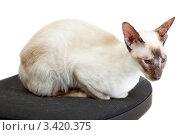 Купить «Сиамская кошка сидит на офисном кресле», фото № 3420375, снято 10 марта 2012 г. (c) Сергей Дубров / Фотобанк Лори
