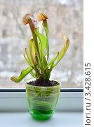 Купить «Насекомоядное растение Саррацения пурпурная (Sarracenia purpurea) на подоконнике», эксклюзивное фото № 3428615, снято 25 августа 2019 г. (c) Елена Коромыслова / Фотобанк Лори