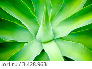 Купить «Агава крупным планом», фото № 3428963, снято 30 января 2010 г. (c) Дмитрий Наумов / Фотобанк Лори