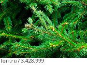 Купить «Ветка елки», фото № 3428999, снято 10 сентября 2008 г. (c) Дмитрий Наумов / Фотобанк Лори