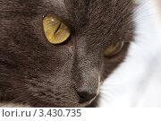 Морда кошки породы русская голубая. Стоковое фото, фотограф Лев Соловьев / Фотобанк Лори