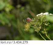 Полосатый жук на цветке. Стоковое фото, фотограф Сергей Жадов / Фотобанк Лори