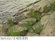 Лук скорода (шнитт-лук) на камнях. Стоковое фото, фотограф Медведев Михаил / Фотобанк Лори