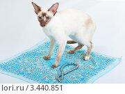 Купить «Сиамская кошка стоит на голубом платке», фото № 3440851, снято 10 марта 2012 г. (c) Сергей Дубров / Фотобанк Лори