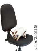 Купить «Сиамская кошка сидит на офисном кресле», фото № 3440859, снято 10 марта 2012 г. (c) Сергей Дубров / Фотобанк Лори