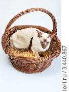 Купить «Сиамская кошка сидит в большой корзине», фото № 3440867, снято 10 марта 2012 г. (c) Сергей Дубров / Фотобанк Лори