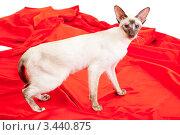 Купить «Сиамская кошка на красной ткани», фото № 3440875, снято 10 марта 2012 г. (c) Сергей Дубров / Фотобанк Лори