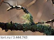 Мох и лишайник на ветке дерева. Стоковое фото, фотограф Николай Белин / Фотобанк Лори