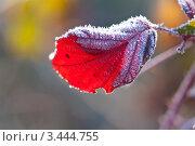 Иней на листе кустарника. Стоковое фото, фотограф Николай Белин / Фотобанк Лори