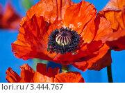 Красные маки на синем фоне. Стоковое фото, фотограф Николай Белин / Фотобанк Лори