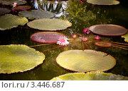 Цветок лотоса в пруду. Канарские острова. Тенерифе. Стоковое фото, фотограф Константин Хрипунков / Фотобанк Лори