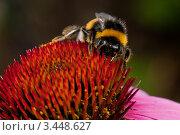 Шмель на цветке эхинацеи. Стоковое фото, фотограф Aleksandrs Jemeļjanovs / Фотобанк Лори