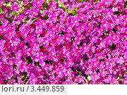 Примула. Стоковое фото, фотограф Евгений Медведев / Фотобанк Лори