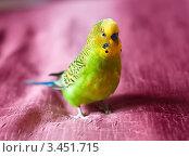 Купить «Зелёный волнистый попугай», эксклюзивное фото № 3451715, снято 15 апреля 2012 г. (c) Игорь Низов / Фотобанк Лори