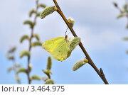 Купить «Бабочка лимонница собирает нектар на распустившейся почке ивы», эксклюзивное фото № 3464975, снято 23 апреля 2012 г. (c) Елена Коромыслова / Фотобанк Лори