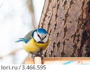 Купить «Синица лазоревка», эксклюзивное фото № 3466595, снято 13 марта 2012 г. (c) Игорь Низов / Фотобанк Лори