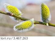 Купить «Цветущая ветка ивы весной», эксклюзивное фото № 3467263, снято 23 апреля 2012 г. (c) Елена Коромыслова / Фотобанк Лори